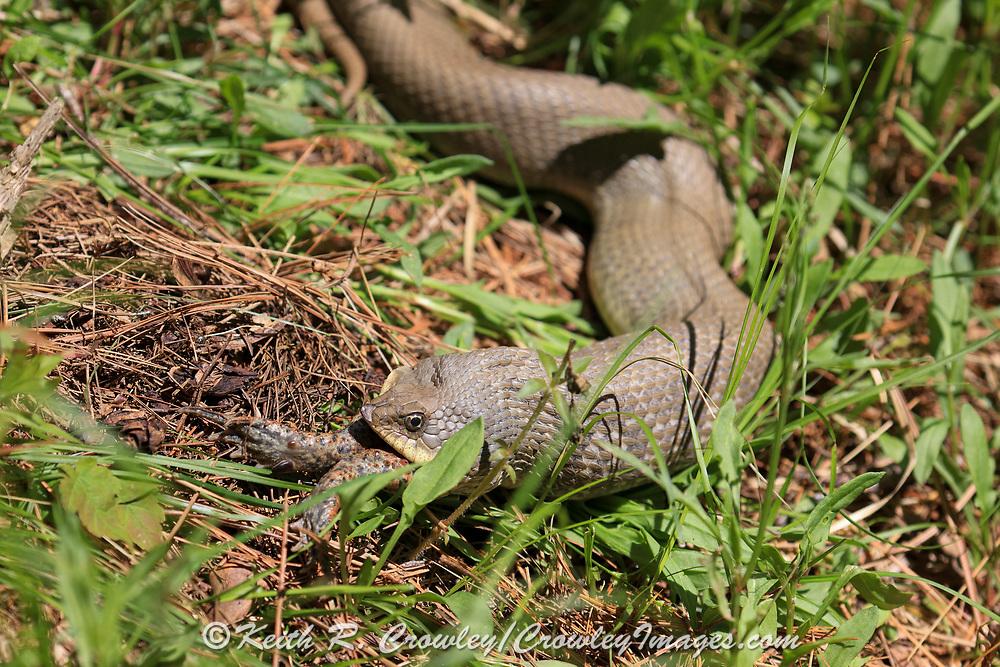 Eastern hognose snake (Heterodon platirhinos) eating a large toad.