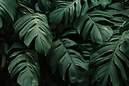 Monstera delicosa leaves textured background