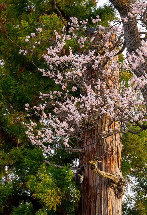 Sakura Blossom in front on an anicent tree inside a castle in Nagano of Japan.