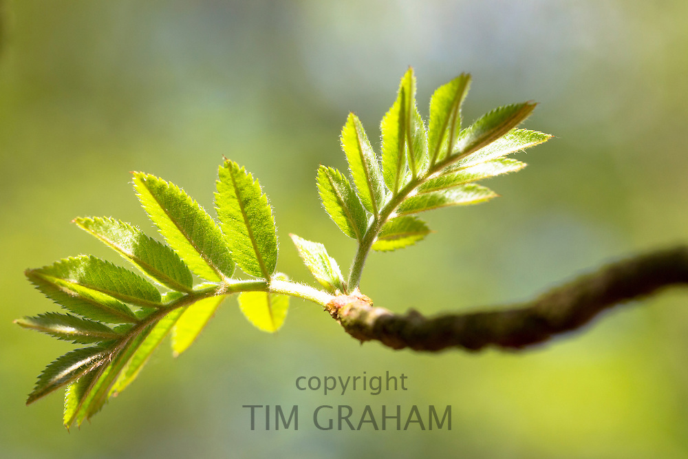 Leaves emerging from tree buds on branch of Rowan tree, Sorbus aucuparia, or Mountain Ash as Spring turns to Summer in UK