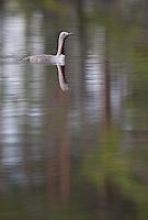 Red-throated diver (Gavia stellata), Bergslagen, Sweden.
