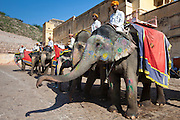 Elephant tourist transport at The Amber Fort a Rajput fort built 16th Century in Jaipur, Rajasthan, Northern India RESERVED USE - NOT FOR DOWNLOAD -  FOR USE CONTACT TIM GRAHAM