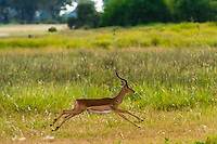 An impala running, near Kwara Camp, Okavango Delta, Botswana.