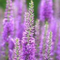 """Purple Morning"" <br /> <br /> Lovely morning sunlight strikes these lovely delicate purple flowers!"