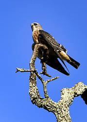 23 August 2015. New Orleans, Louisiana. <br /> A Cooper's Hawk on an old oak tree.<br /> Photo credit©; Charlie Varley/varleypix.com.