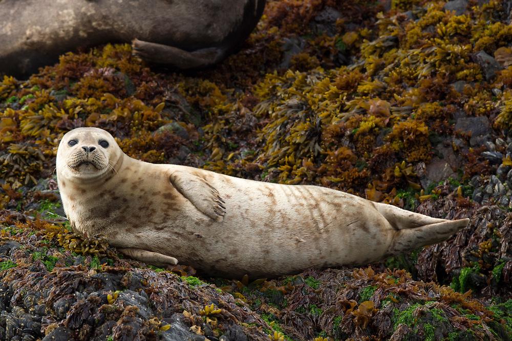 Harbour seal, Phoca vitulina, Tofino, Clayoquot Sound, British Columbia, Canada, North America