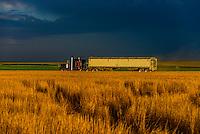 Semi trailer truck carrying grain during the wheat harvest, Schields & Sons Farming, Goodland, Kansas USA.