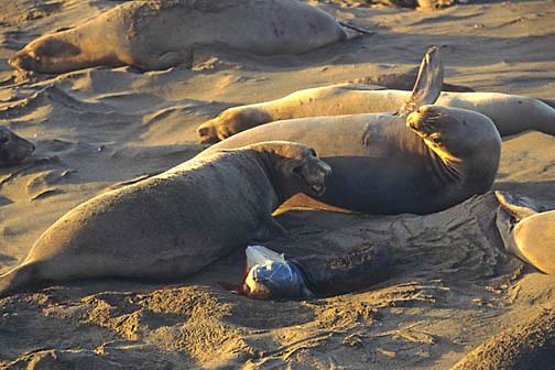 Northern Elephant Seal, (Mirounga angustirostris)  Female giving birth to newborn pup. California.