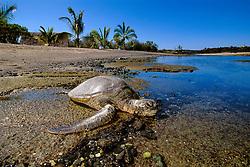 green sea turtle basking in the sun, Chelonia mydas, Kaloko-Honokohau National Historical Park, Kona, Big Island, Hawaii, USA, Pacific Ocean