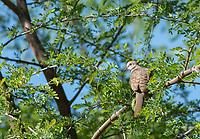 An Inca Dove, Columbina inca, perches in a Mesquite tree in the Riparian Preserve at Water Ranch, Gilbert, Arizona