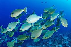 Naso unicornis, Schwarm von Kurznasen Nashornfisch, Kurznasendoktor, Kurznasendoktorfisch, school of Bluespine unicornfish, Ras Mohammed Riff, Rotes Meer, Ägypten, Ras Mohammed  Reef, Red Sea, Egypt