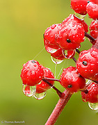 Water droplets and splider web strands formed a fascinating design on this baneberry clump in the Salmo-Priest Wilderness.
