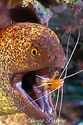 yellow-margined moray eel, Gymnothorax flavimarginatus, being cleaned by humpback cleaner shrimp, Lysmata amboinensis, Mabul Island, Sabah, Borneo, Malaysia ( Celebes Sea )