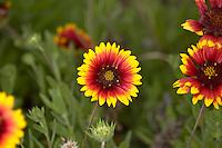 Blanketflowers growing wild on Merritt Island on Florida's East Coast.