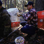 A Matsutake mushroom picker searches for the valuable fungus in the Willamette National Forest, Oregon