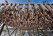 Stockfish (cod) hanging to dry, Lofoten islands, Arctic Norway