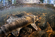 White Sucker <br /> <br /> Sean Landsman/Engbretson Underwater Photography