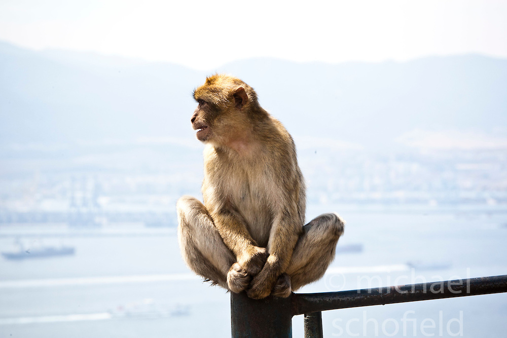 The semi-wild Barbary Macaques. Photographs from the top of the Rock of Gibraltar. Images of Gibraltar, the British overseas territory located on the southern end of the Iberian Peninsula at the entrance of the Mediterranean.