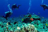 Scuba Diving, Garden Eel Cove, Kona Hawaii