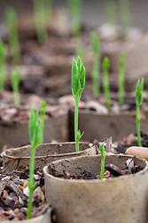 Sweet peas sown in recycled toilet rolls. Lathyrus odoratus 'Heathcliff'