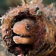 Small moray eel covered with parasites, hiding in a bottle in the muck of Lembeh Strait, North Sulawesi, Indonesia