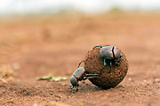 Dung beetles rolling a large dung ball in Zimanga Private Reserve, South Africa. Possibly Large Copper Dung Beetle (Kheper nigroaeneus).