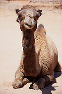 Dromedary (camel) laying on the ground in the Sahara desert.
