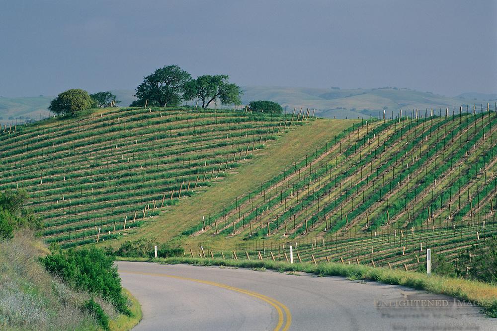 Road below grape vines on hillside vineyard, near J. Lohr, Paso Robles San Luis Obispo County, California