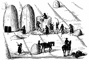 Crop Rotation: Threshing rye grass for seed. In Norfolk 4-course system, wheat planted first year, followed by turnips, then barley, often underplanted with grass or grass and clover ley to be used for hay or grazing in 4th year. Engraving 1855