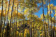 Backlit Aspen Trees