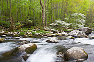 66745-04111 Dogwood trees in spring along Middle Prong Little River, Tremont Area, Great Smoky Mountains National Park, TN