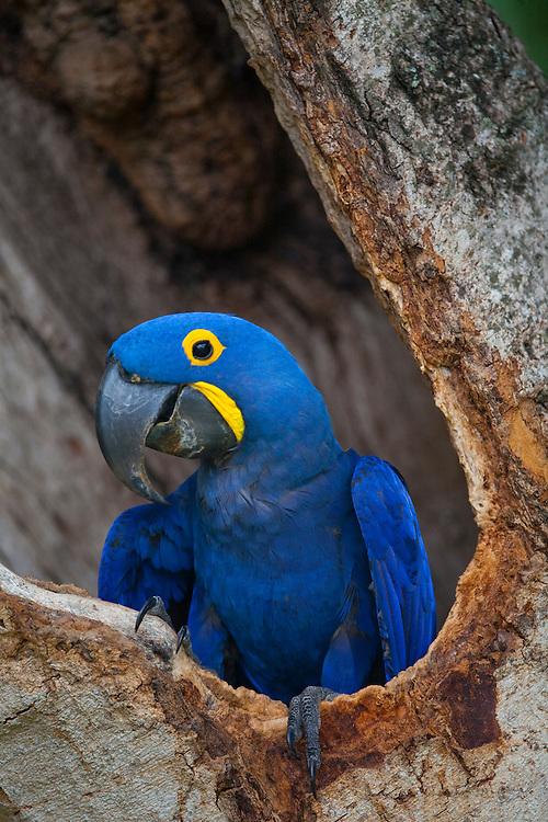 Pocone_MT, Brasil...Detalhe de uma Arara-azul (Anodorhynchus hyacinthinus) no Pocone no Pantanal, Mato Grosso...A blue macaw (Anodorhynchus hyacinthinus) in Pocone  in Pantanal, Mato Grosso...Foto: JOAO MARCOS ROSA / NITRO..
