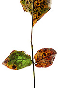 color changing and disintegrating leaves on a twig