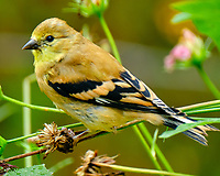 American Goldfinch (Spinus tristis). Image taken with a Fuji X-T2 camera and 100-400 mm OIS lens.