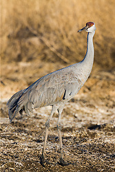 Sandhill crane (Grus canadensis) at Bosque del Apache National Wildlife Refuge, New Mexico, USA