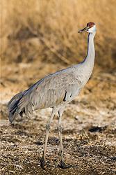 Sandhill crane (Grus canadensis) at Bosque del Apache National Wildlife Refuge, New Mexico, USA