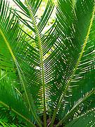 Detail of palm tree leaf, near Manzanillo, Limon, Costa Rica.
