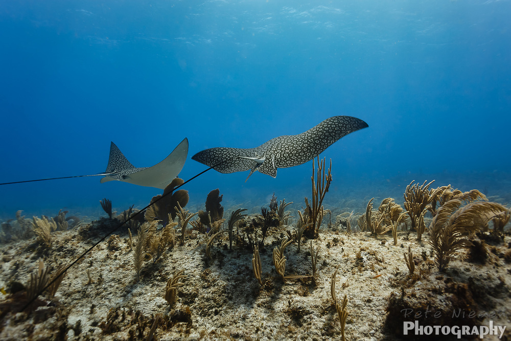 Pair of giant spotted eagle rays, Aetobatus narinari,  swim away across coral reef showing their very long whip tails