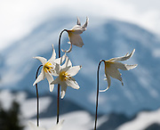 The White Avalanche Lily is a member of the lily family native to coastal British Columbia and the alpine and subalpine Olympic and Cascade Ranges of the Pacific Northwest of North America. Its flower blooms as snow melts in late spring, in damp subalpine woodlands and alpine meadows, often in extensive patches. In the central Cascades, it often grows mixed with Clintonia uniflora and Trillium ovatum at the lower elevations of its range, and with Anemone occidentalis at higher elevations. Spray Park, Mount Rainier National Park, Washington, USA