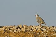 Closeup of a single Chukar Partridge or Chukar (Alectoris chukar) Photographed in Israel, Arava desert in March