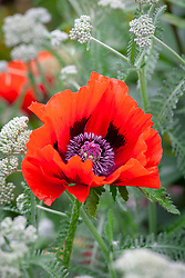 Red poppy reverted from Papaver orientale 'Tiffany'