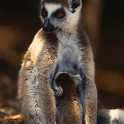 Ring-tailed lemur (Lemur catta) adult nursing it's young in Madagascar.  The ring-tailed lemur is an endangered species.