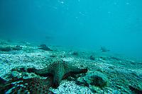 Underwater image of a Chocolate Chip Star (Protoreaster nodosus)  in the Galapagos Islands, Ecuador.