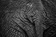 This elephant tail has plenty of tales to share from the Maasai Mara.