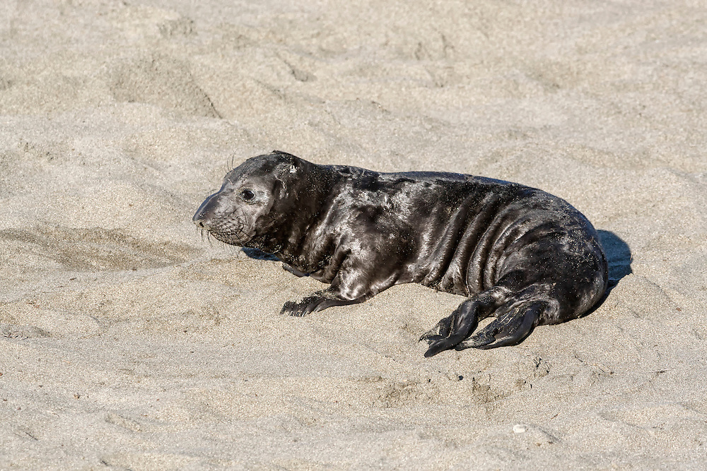 Northern Elephant Seal - Mirounga angustirostris - young pup