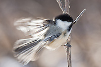 A chickadee poses on a branch at Inglewood Bird Sanctuary.