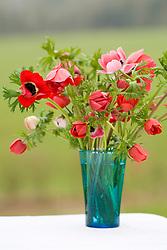 Anemone coronaria 'Hollandia' in blue vase
