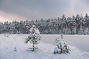Pines growing on lake coast. In silent morning over frozen nameless lake and surrounding forests on snowy winter day in Vidzeme, near Nītaure, Vidzeme, Latvia Ⓒ Davis Ulands | davisulands.com