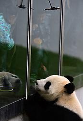 CHANGCHUN, Oct. 4, 2016 (Xinhua) -- Children look at giant panda ''Meng Meng'' at the panda hall of Siberian Tiger Park in Changchun, northeast China's Jilin Province, Oct. 4, 2016. Giant pandas ''Meng Meng'' and ''Jia Jia'' attracted a large number of tourists during the National Day holiday. (Xinhua/Lin Hong)(mcg) (Credit Image: © Lin Hong/Xinhua via ZUMA Wire)