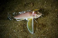 Ocellated waspfish, Apistus carinatus, Shelter Island, Sai Kung archipelago, Hong Kong, China.<br /> This Image is a part of the mission Wild Sea Hong Kong (Wild Wonders of China).